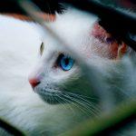 Gato branco com olhos azuis.